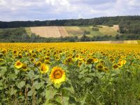 umgebung-sonnenblumen